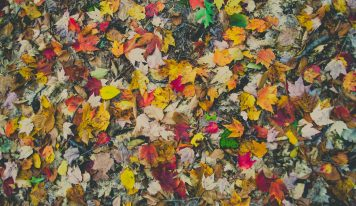 The Factors of Fall Leaf Color