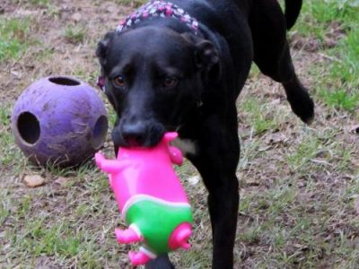 HSEC Pet of the Week: Meet Lola! Good with Dogs, but No Kitties Please