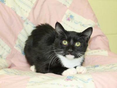PAHS Featured Pet this Week is Royal, a Sweet Young Kitty