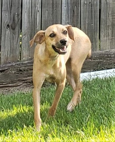 HSEC Pet of the week: Meet Cammie! A Cutie with a Stubby Tail, She is Great with Dogs, Cats and Children
