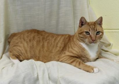 PAHS' Featured Pet this Week is Tang, Who Appears to be a Relative of Garfield!