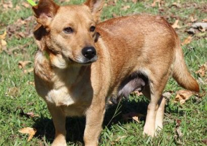 PAHS Pet of the Week: Meet Ginger! Recovered Now after Being Hit By Car
