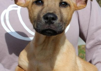 PAHS Pet of the Week: Meet Champ! Handsome 3-Month-Old with Adorable Ears