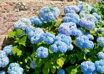 Hydrangeas: To Prune, or Not to Prune?